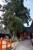 Nara: Un arbre de plus de 1000 ans