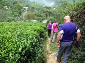 Une visite rapide d'une plantation de thé