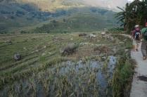 Une plantation de riz