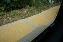 Le riz qui sèche sur la chaussée