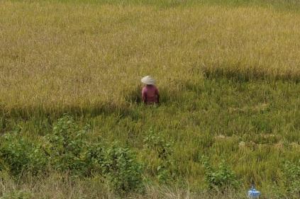 Travailler dans un champs de riz