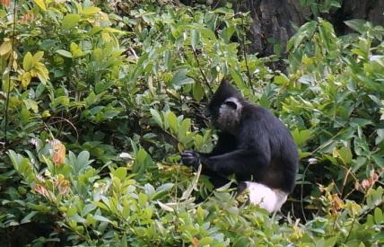 Un singe trèes rare et en voie d'extinction