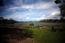 Un champs d'ananas que l'on retrouvera chez Costco