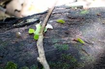 Les autoroutes de fourmis qui transportent des feuilles
