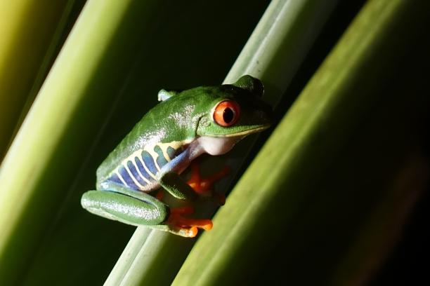 Le clou de la soirée, la petite grenouille verte du Costa Rica