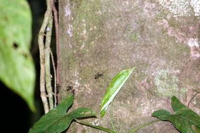 Les fourmis balle de fusil. Eviter de s'appuyer sur cet arbre