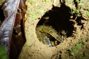 Une tarentule dans sa cachette