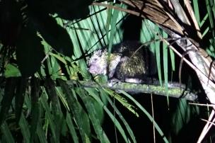 Et pour conclure, un porc-épic dans le haut de son arbre