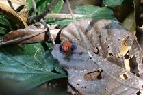 Une petite grenouille bleue trouvé à l'aide de notre ami François