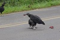 Des charognards sur la route