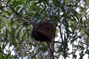 Un nid de guèpes, elles n'ont pas l'air commode