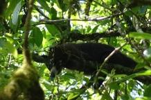 Un Coati dans un arbre