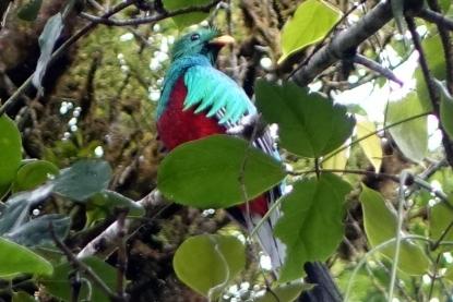 Le Quetzal, c'est un magnifique oiseau
