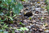 Cet oiseau gratte le sol pour trouver de la nourriture