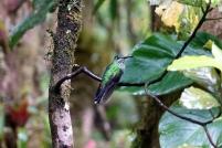 Les colibris sont toujours très colorés