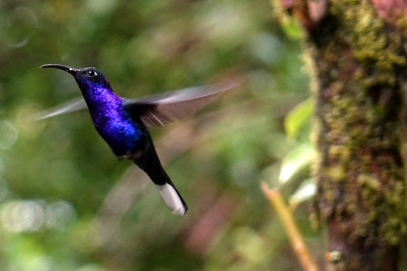 Ce colibri bleu est magnifique