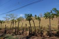 Beaucoup de clotures sont fait avec des arbres. Des clotures vivantes
