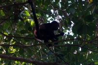 Un singe hurleur, son cri donne des sueurs froides