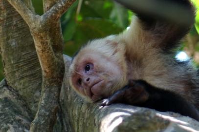 Un singe capucin, il doit réfléchir à son prochain larçin