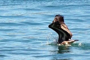 Un pélican qui a trouvé de la nourriture dans l eau