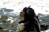 Tiens, le capucin a trouvé du butin