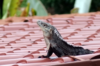 Un iguane sur un toit de tole, ca fait du vacarme