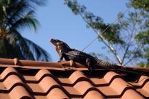 Cet iguane semble aimer ce toit