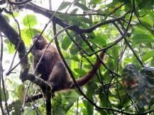 Le singe araignée