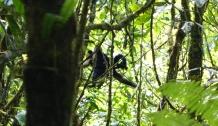 Un singe-capucin, ils se déplacait vraiment rapidement