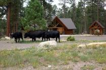 Des vaches devant le centre d'information de Kaibab