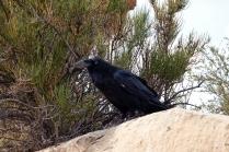 Ce corbeau n'était pas trop farouche, il est surement nourri par les touristes