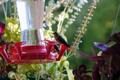 Les colibris migrent vers le Mexique, ils étaient beaucoup plus nombreux la semaine dernière