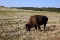 Enfin, un bison... mon voyage est complet
