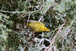 Un autre oiseau nerveux,... Nous n'avons pas la patience d'obtenir la bonne pose