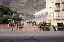 Des dromadaires, il n'y a pas de chameaux en Indes