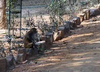 Je ne savais pas qu'il y avait des singes à Delhi