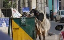 Un resto de choix pour les vaches