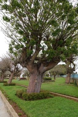 Cet arbre ne fleuri que de février à avril