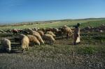 Beaucoup de moutonniers, je veux dire des bergers