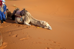 Mon chameau fait le mort