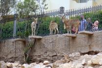 Avec des mouflons qui aiment grimper