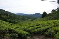 Les champs de thé