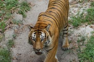 Nous avions du temps à passer... les tigres sont toujours impressionnants