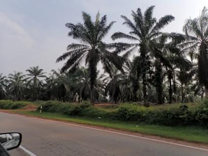 Des plantations de palmiers à perte de vue