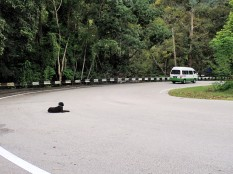 Ce chien reste dans la rue à regarder les autos. Il a surement oublier qu'il est en Malaisie