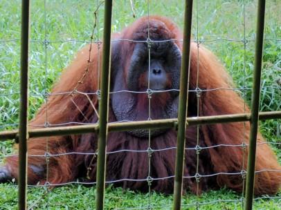 Une femelle Orang outan