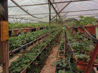 Une plantation de fraises