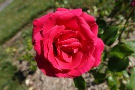Une rose du parc de Lagrange