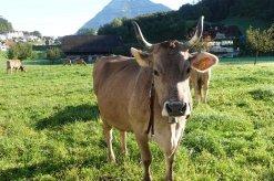 Une vache a cloche que nous entendons la nuit (elles ne dorment jamais?)