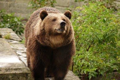 Un des 3 ours de Berne (deux viennent de Scandinavie et le 3ieme est né ici)
